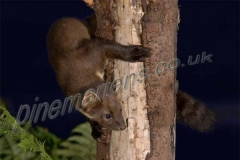 Pine Marten in tree at night