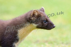 Pine Marten side profile