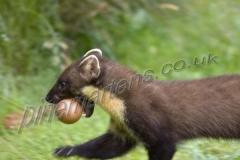 Pine Marten carrying egg
