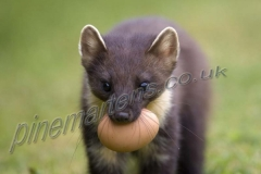 portrait Pine Marten with egg