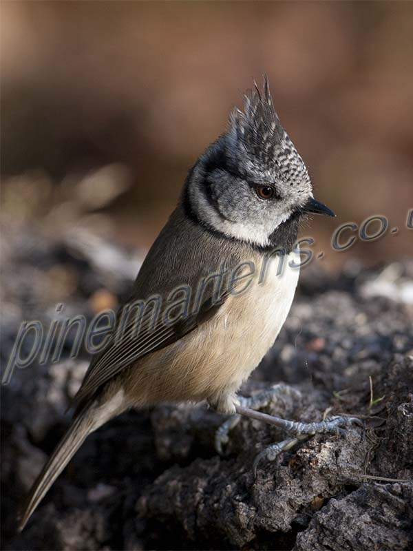 Crested Tit on ground