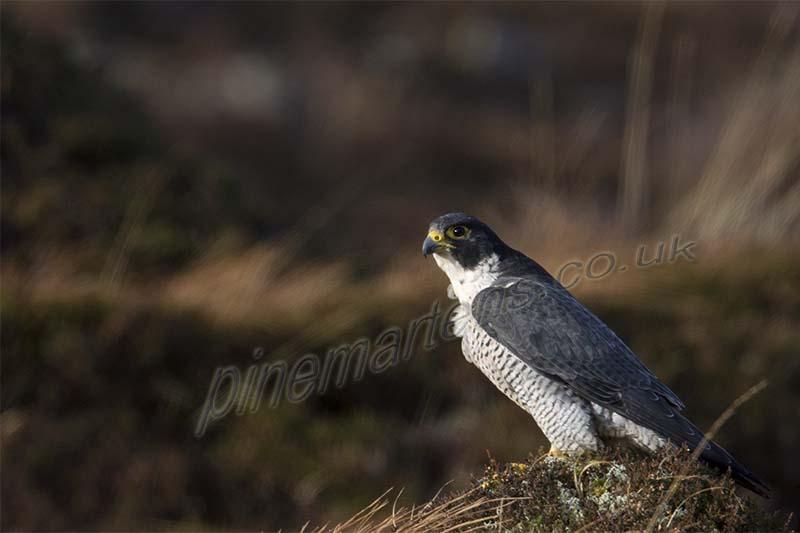 Peregrine Falcon Applecross