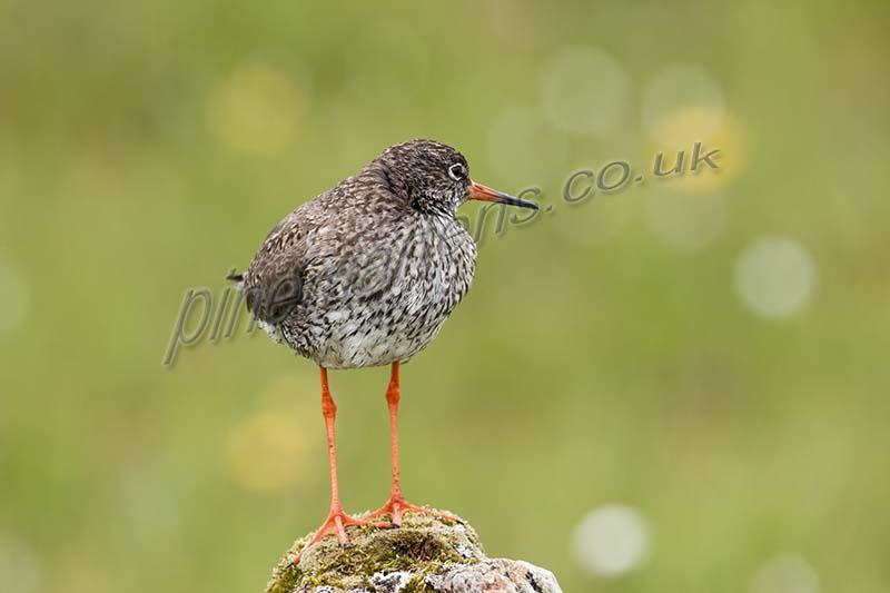 Redshank Western Isles