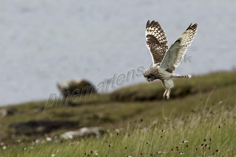 Short Eared Owl Lewis