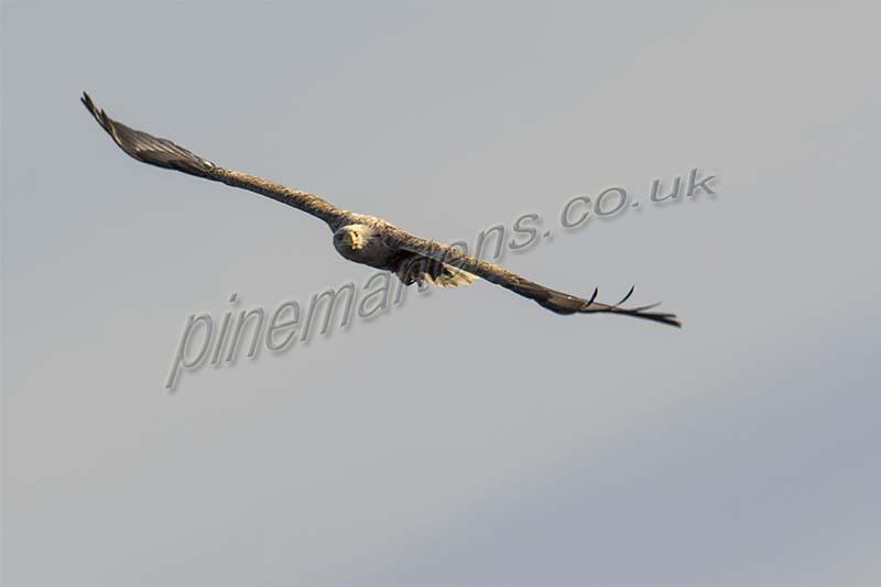 White Tailed Eagle Lewis