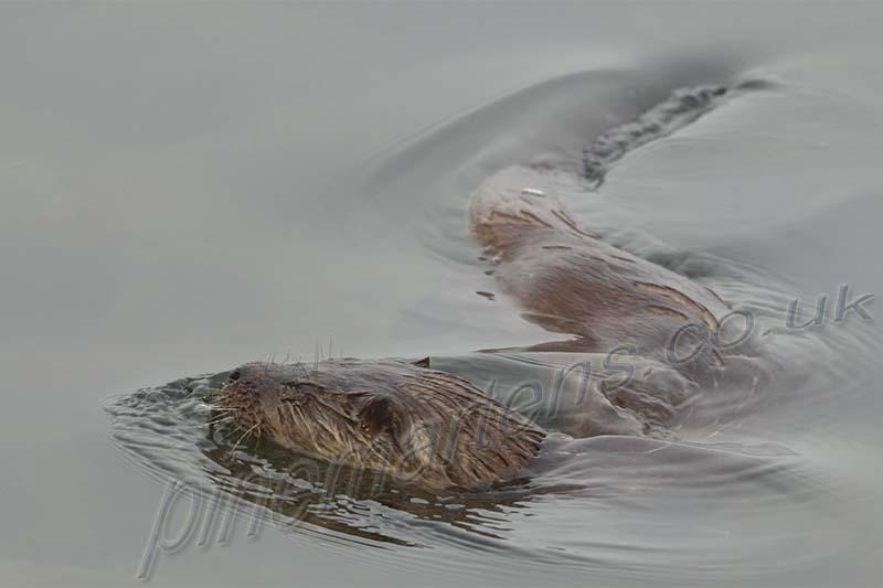 Swimming Otter Mull Scotland