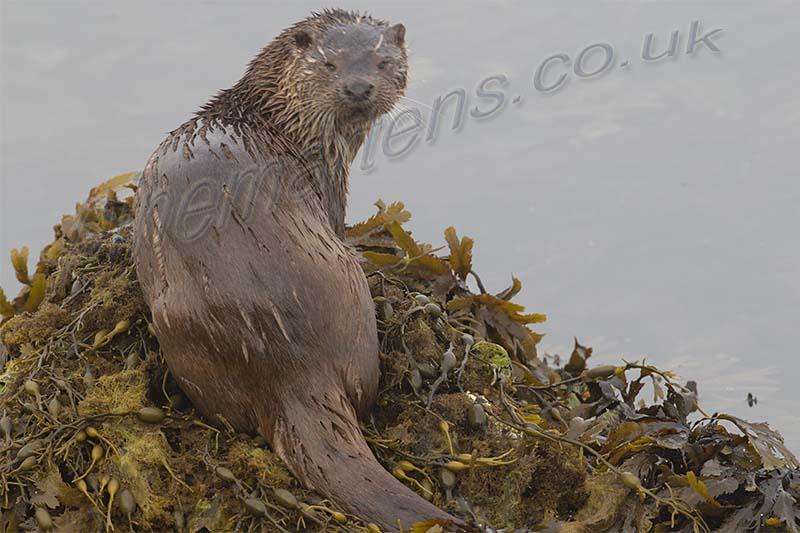Otter on shore