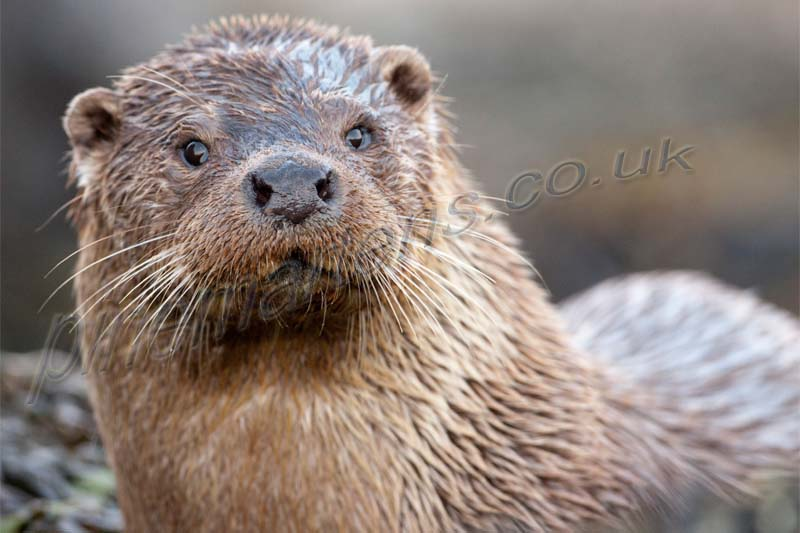 onshore Otter closeup Shetland mainland