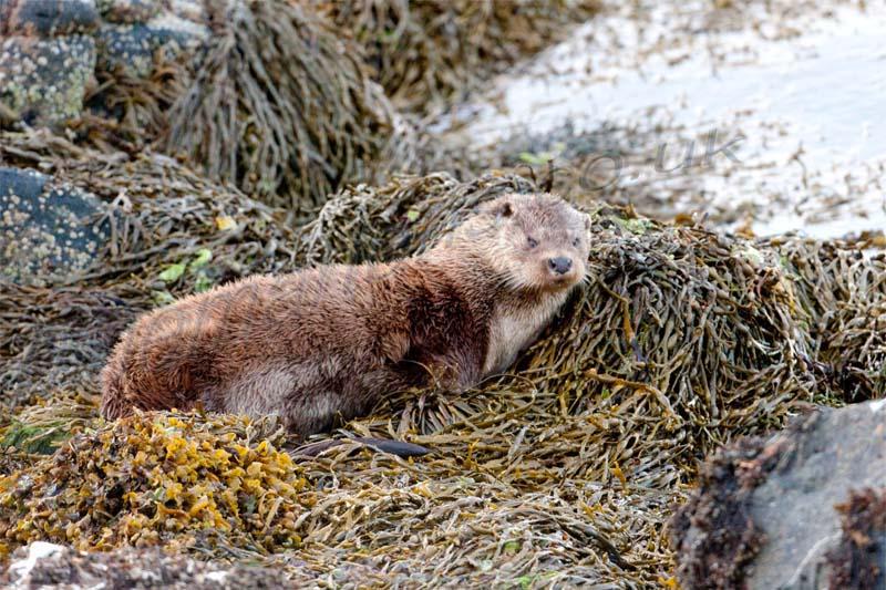 Otter lying on rock