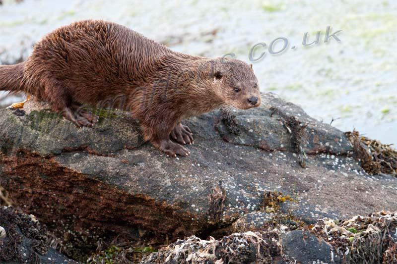 Otter walking over  rocks