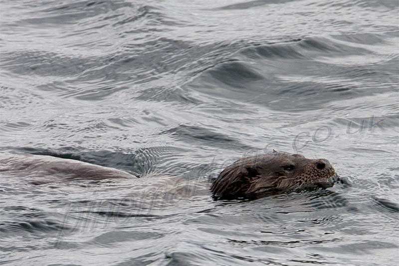 closeup Swimming Otter