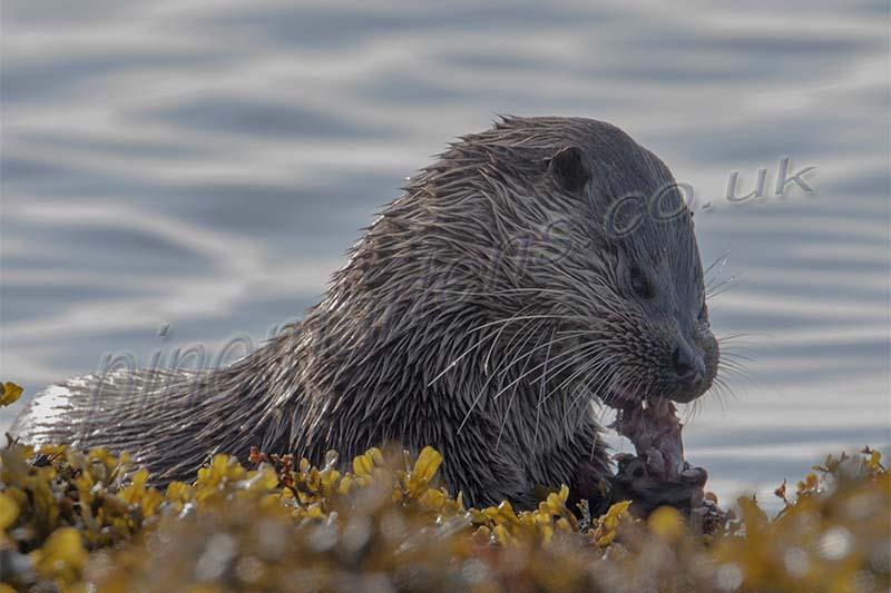 Feeding Otter Mull