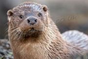 Otter closeup Shetland's