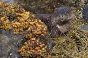 Otter lying on kelp