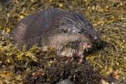 closeup Otter feeding