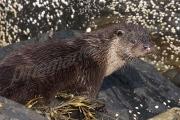 Otter on rock