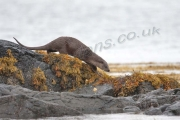 Otter heading to water