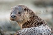Otter potrait Shetland
