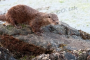Otter walking over  rocks