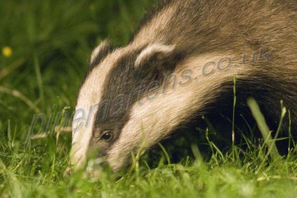 Badger 3933