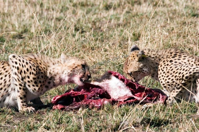 Cheetah-4502