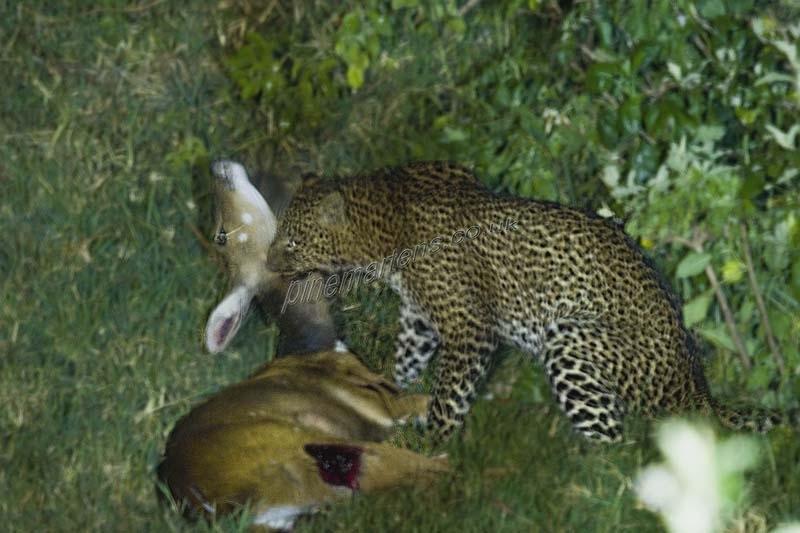 Leopard-1297