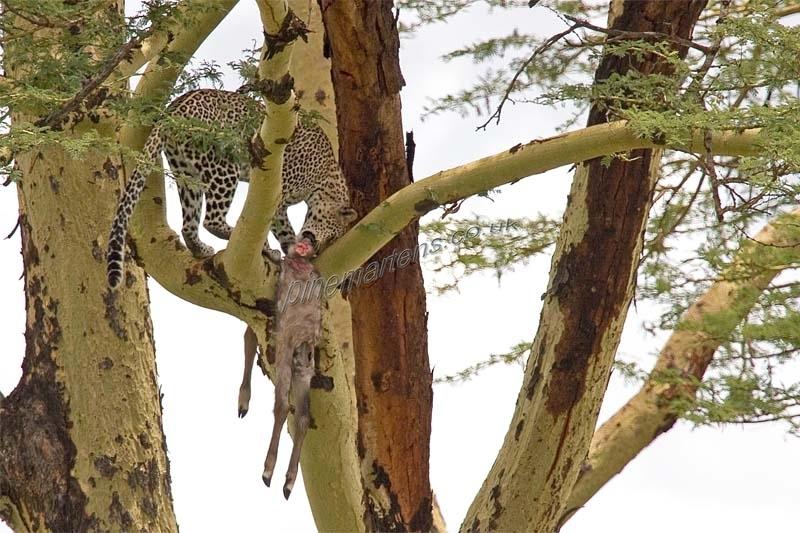 Leopard-1741