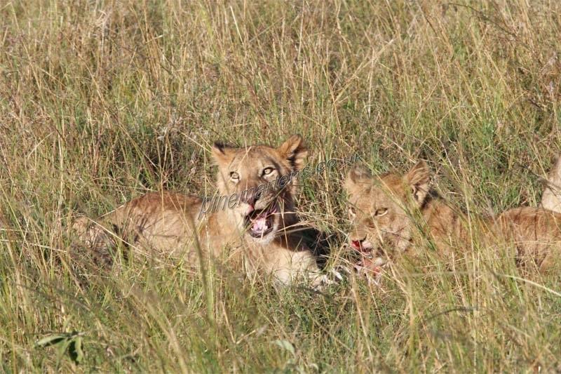 Lions-4424