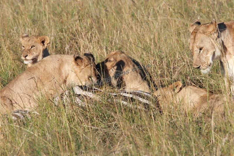 Lions-4447