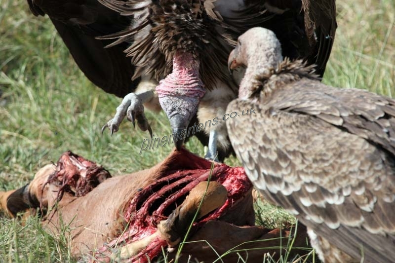 Vultures-4991