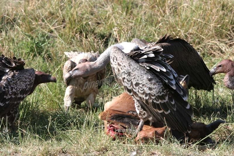 Vultures-4999