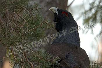 The quest for the Capercaillie