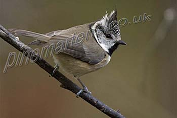 Scottish Crested Tit