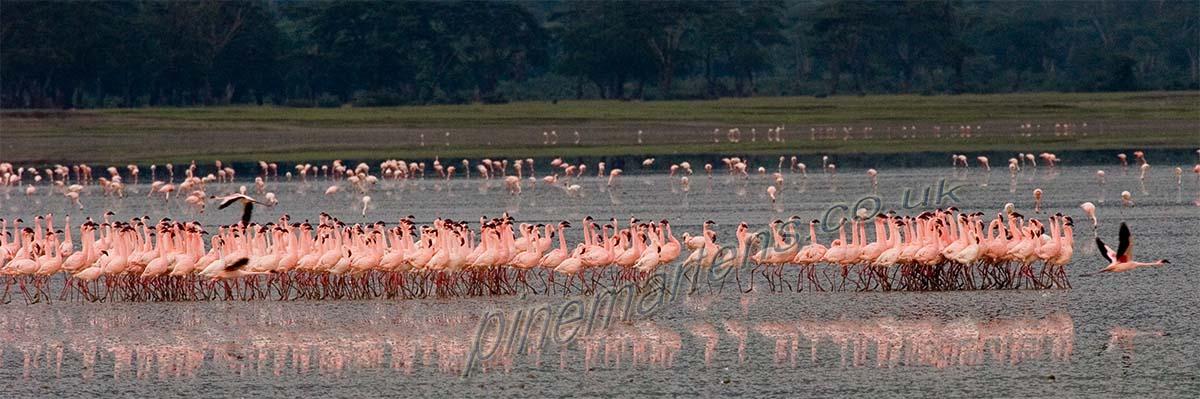 Flamingo Flamboyance Ngorongoro Crater Tanzania