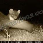 Pine marten-trial cam