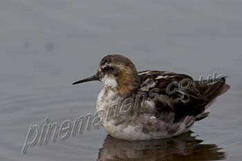 red-necked phalarope (Phalaropus lobatus) encounter